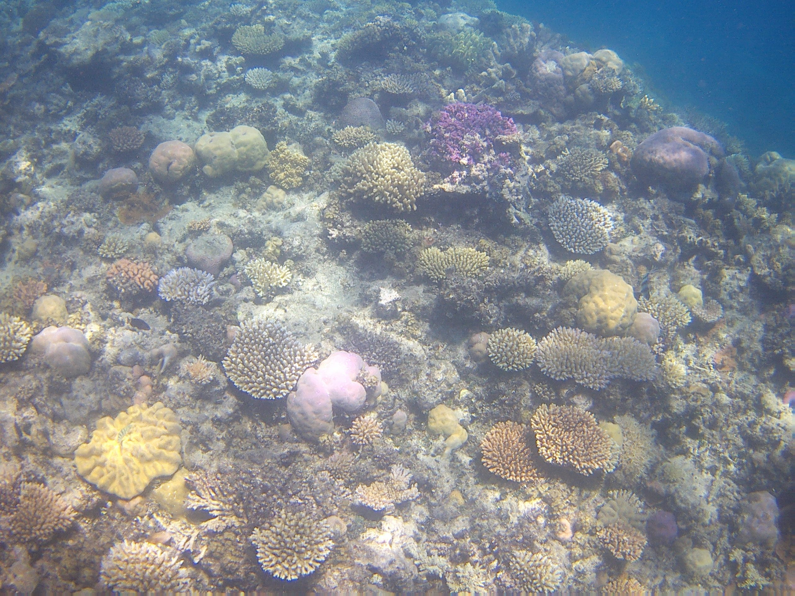 grane barriera corallina